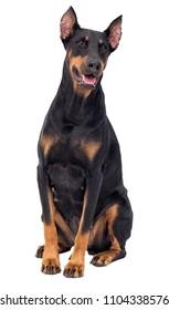 Doberman dog looking at white background