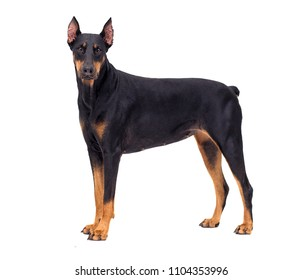 Doberman dog looking at white background