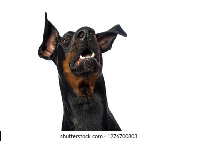 Doberman dog snaps in the air on white background