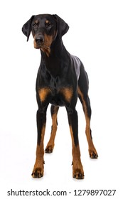 Doberman dog standing isolated on white background