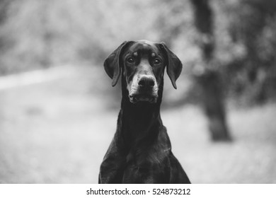 Doberman looking into the camera with mouth parted in black and white