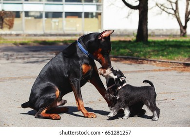 Doberman with miniature schnauzers in the open air