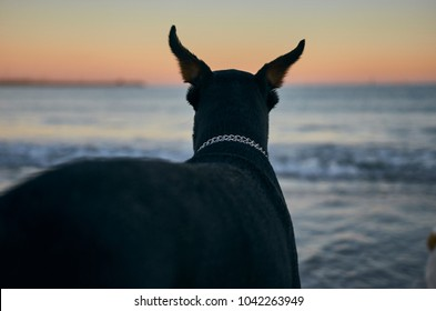 Doberman on his back looking the sea, sunset.
