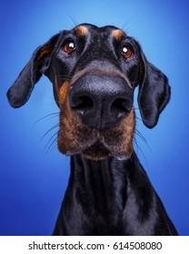 Doberman Pinscher Big Nose on blue