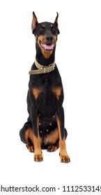 Doberman Pinscher dog, full-length