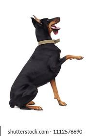 Doberman Pinscher Dog Gives a Paw