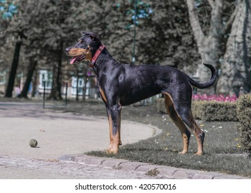 Doberman Pinscher dog in park with ball
