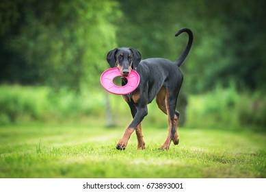 Doberman pinscher dog playing with a disc