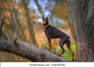 Doberman Pinscher dog standing on big tree brunch at autumn day