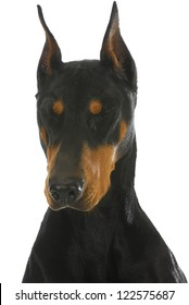 doberman pinscher with eyes closed on white background