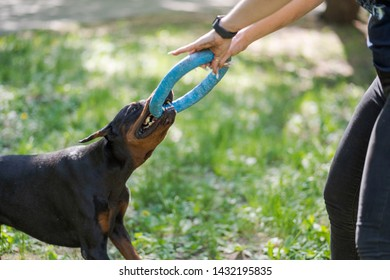Doberman pinscher playing with a woman. Training of the dog. Puller