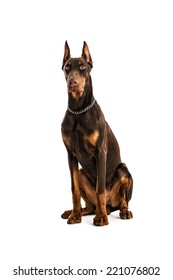 Doberman Pinscher sitting, isolated on white