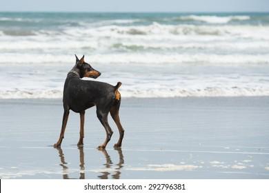 Doberman playing at the seaside