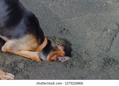 Doberman puppy dog digging a hole in sand at the beach.