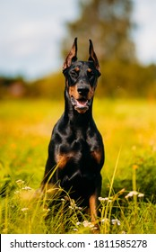Doberman puppy is growing up