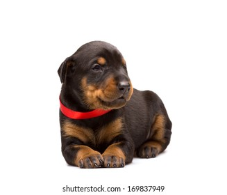 Doberman puppy in red ribbon, isolated on white