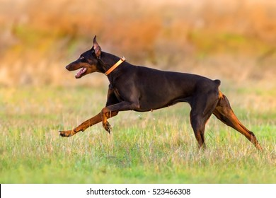Doberman run fast in autumn field