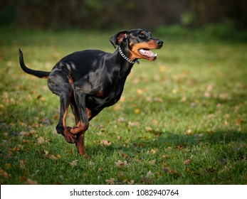 Doberman running on the field