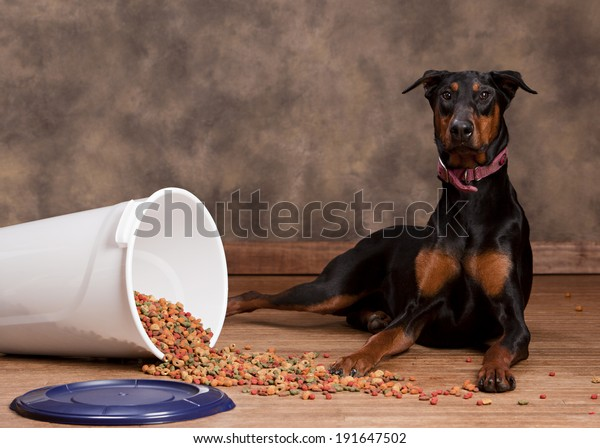 Doberman sitting next to a spilled tub of dog food.  Room for your text.