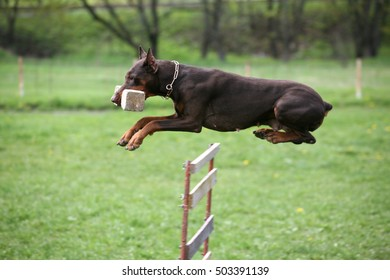 Doberman training