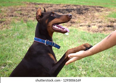 Doberman training, trust and loyalty between a dog and humans, Doberman and man's paw as a sign of love and trust