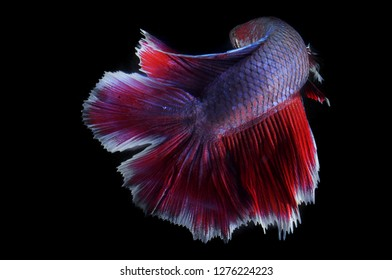 Dobletail betta fish