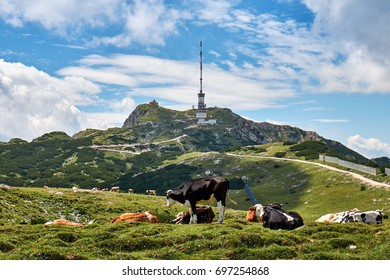 Dobratsch summit with german chapel Maria am Stein and the radio tower, behind grazing and lying cows in the austrian alps near Villach