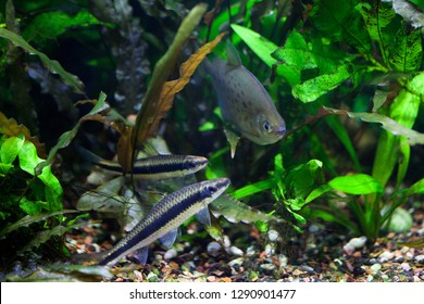 Docile Flying Fox and Spotted Silver Dollar fishes swimming in freshwater tropical densely planted aquarium