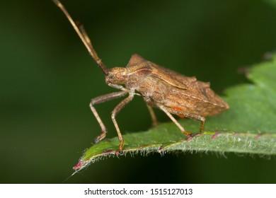 Dock bug (Coreus marginatus) on a leaf macro