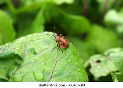 Dock bug (Coreus marginatus) on a red beet leaf closeup