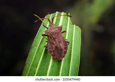 Dock Bug ( Coreus marginatus ) a species of True Bug in the family Coreidae.