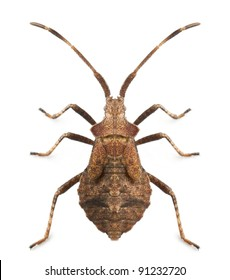 Dock bug, Coreus marginatus, species of squash bug, in front of white background