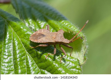 Dock Bug,Coreus marginatus, on a leaf in the morning sun.