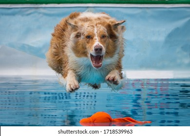 Dock diving orange and white dog jumping into pool