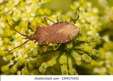 Dock Leaf Bug - Coreus Marginatus, considered to be in the Family of Shield Bugs in the UK and in Squash Bugs in the USA. Also referred to as Stink Bugs. Note tiny horns between 4 segmented antennae.