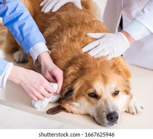 Doctor and assistant checking up golden retriever dog in vet cli