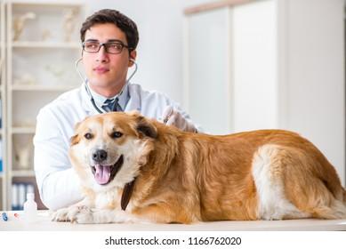 Doctor examining golden retriever dog in vet clinic