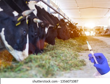 Doctor holding a syringe against the background of cows in the barn concept of growth hormone and antibiotics in beef, bacteria