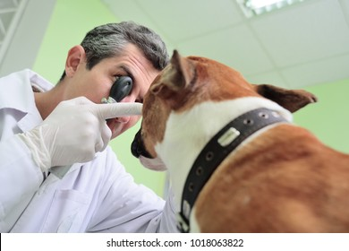 doctor vet checks the eyes and eyes of the dog pitbull terrier