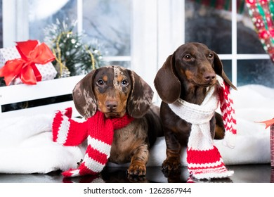 Dod dachshund, New Year's puppy, Christmas dog