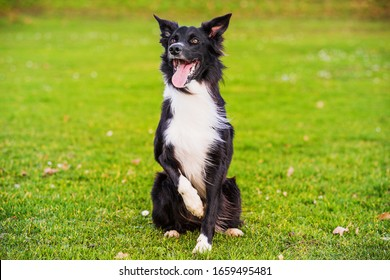 Dod obedience training. Full length of curious border collie dog looking focused ahead enjoying a sunny day and playing games with his master.
