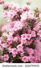 "Dodd Azalea ""Amy"" floral bouquet of spring flowers"