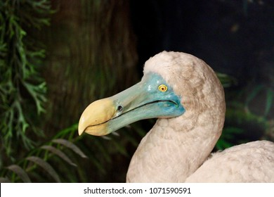 The dodo (Raphus cucullatus) is an extinct flightless bird that was endemic to the island of Mauritius.