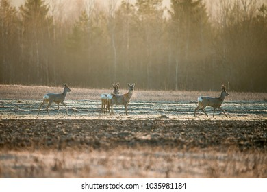 Doe, deer grazing on meadow. Wildlife scene from nature. Portrait of forest animal.