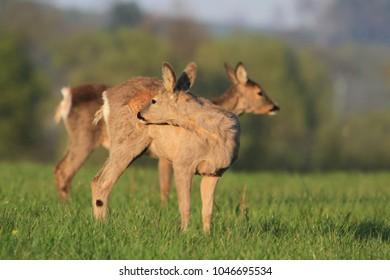 Doe, deer grazing on meadow. Wildlife scene from nature. Portrait of forest animal. Capreolus capreolus.