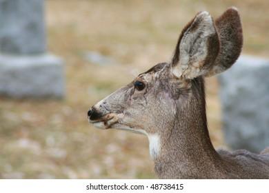 Doe deer with perked ears