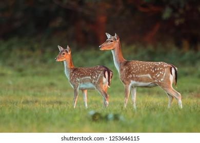 Doe and fawn fallow deer, dama dama, in autumn colors in last sunrays. Detailed image of two wild animals with blurred background. Wildlife scenery with cute mammals watching. Family concept.