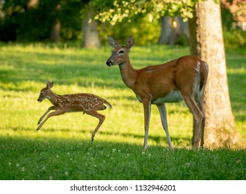 A doe and with its fawn jumping and playing  in an open meadow in summer
