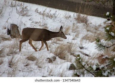 A doe with grass blurring the foreground I Vernon BC