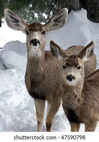 Doe and her yearling Mule Deer in mid winter